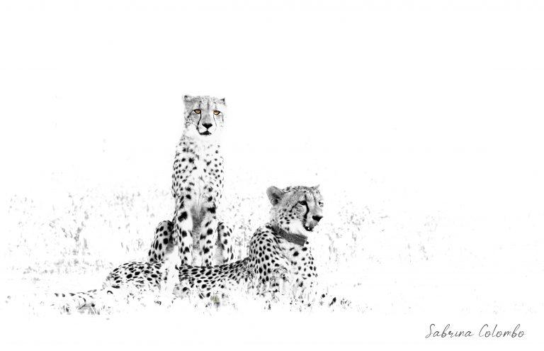 Dream Team - Cheetahs Fine Art