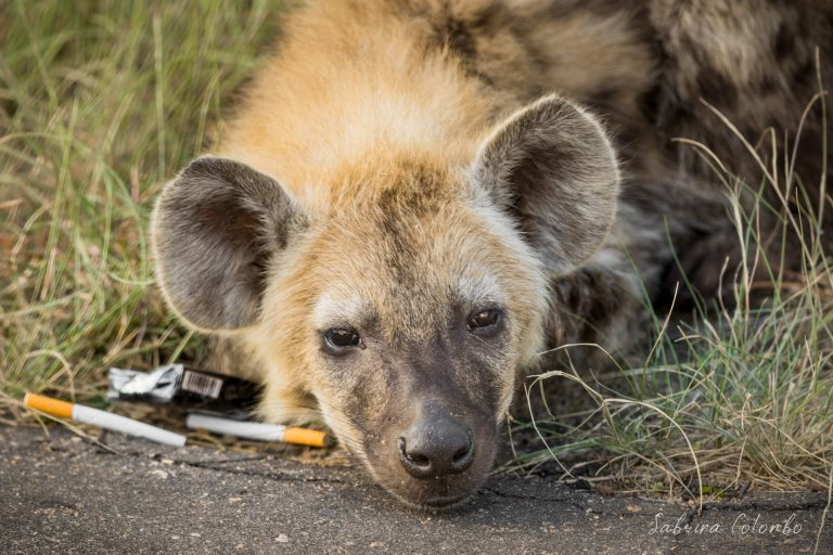 Hyena with Cigarettes