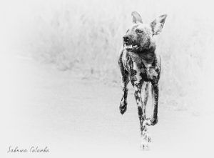 Wild dog running BW Bright