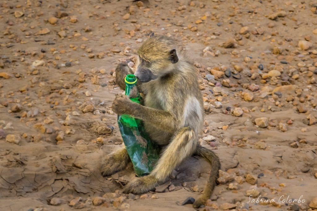 Baboon with plastic bottle