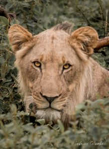 Young male Lion Stare