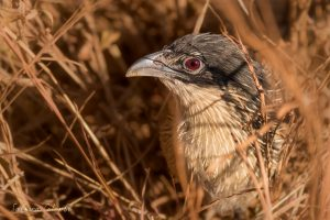 Burchell's Coucal face details