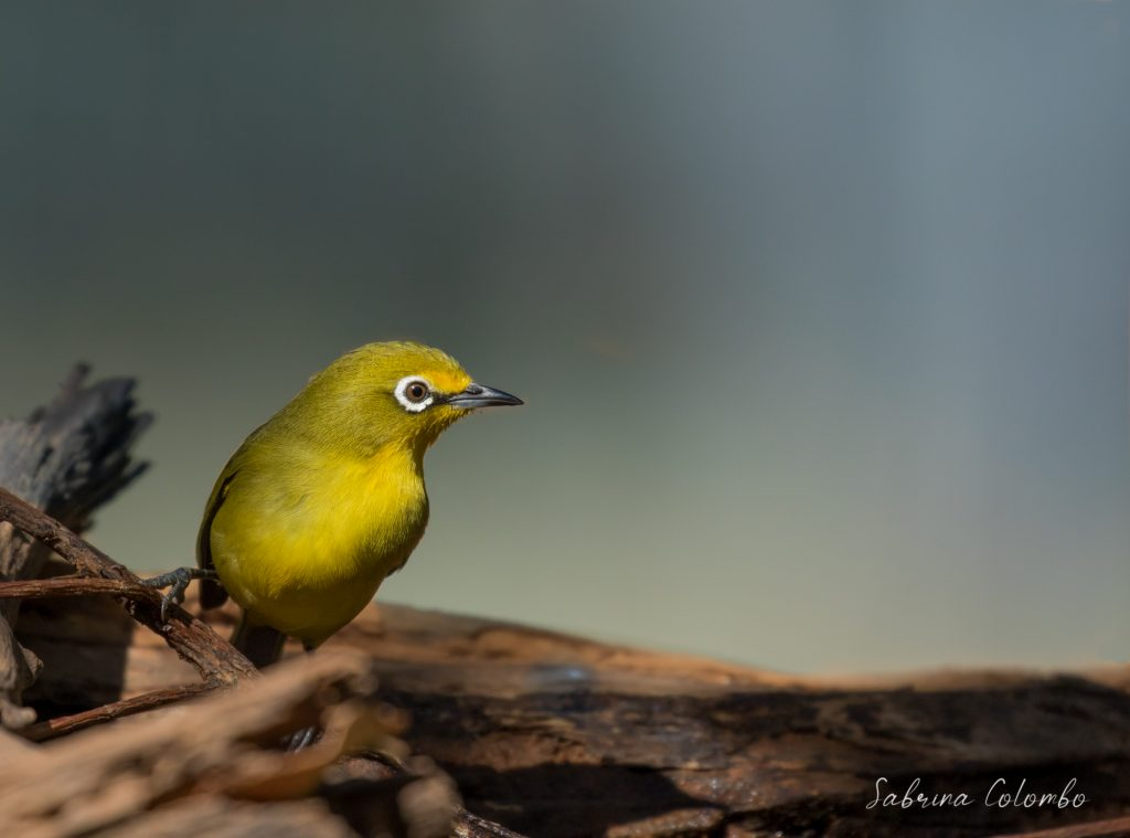 Cape white eye about to fly
