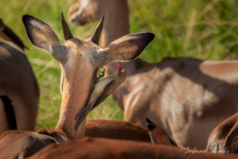 Impala and oxpecker