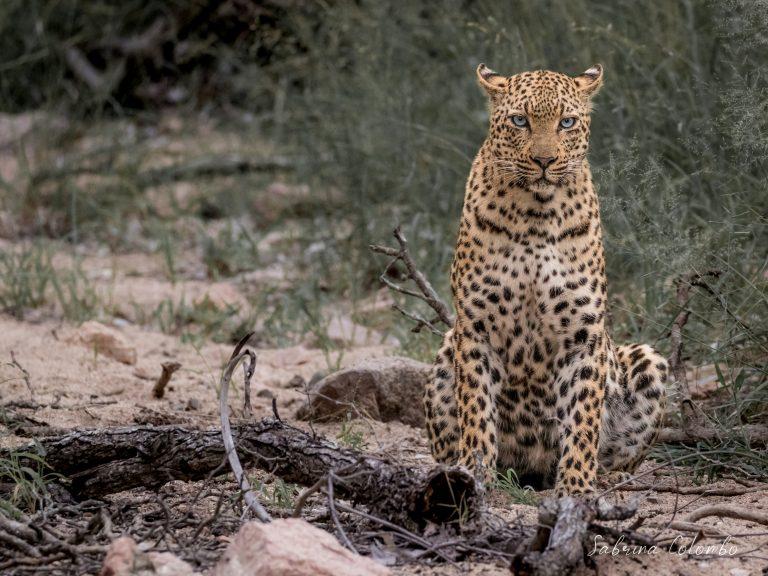 Leopard Female full body