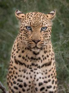Leopard female portrait