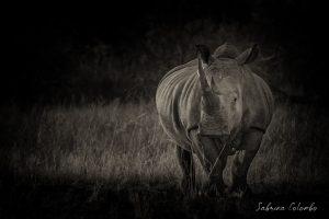 White Rhino Bull BW