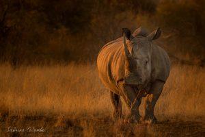 White Rhino Bull at sunset