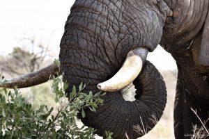 Elephant Bull Details Close Up