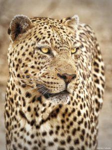 Male Leopard Portrait Kruger
